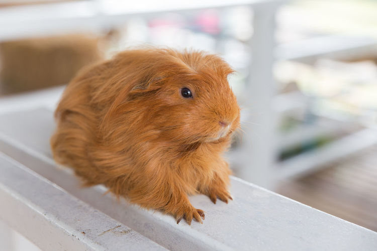 Close-up of guinea pig on table
