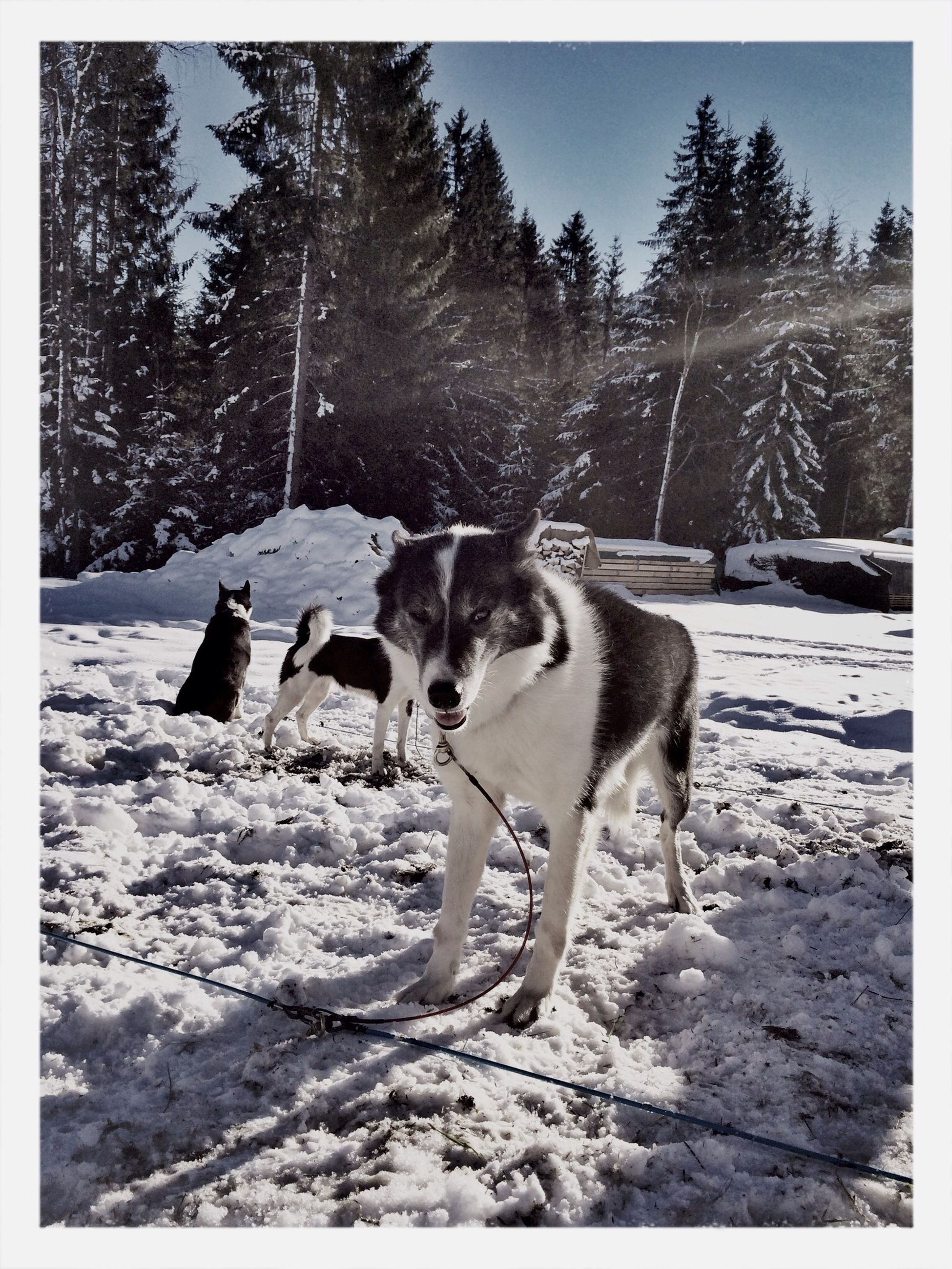 animal themes, mammal, domestic animals, one animal, dog, pets, tree, transfer print, auto post production filter, full length, standing, field, nature, landscape, snow, day, sunlight, outdoors, no people, forest