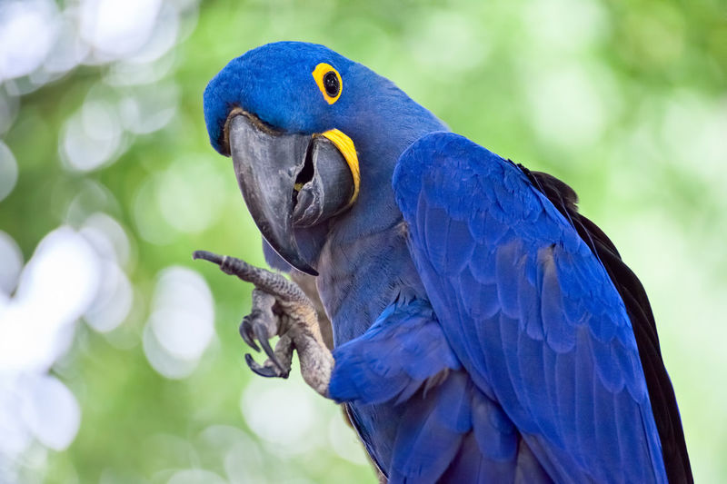 Beautiful blue hyacinth macaw waving with his talon Blue Waving Wing Animal Themes Animal Wildlife Animals In The Wild Avian Beauty In Nature Bird Birds Blue Claw Closeup Cute Focus On Foreground Hyacinth Macaw Macaw Nature No People One Animal Outdoors Parrot Perching Smiling Talons