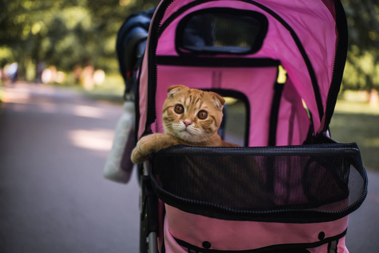 Cute Pets Cute Cats Baby Stroller Seat Pets Road Doll Close-up Baby Carriage Cat Domestic Cat Kitten Ginger Cat Whisker