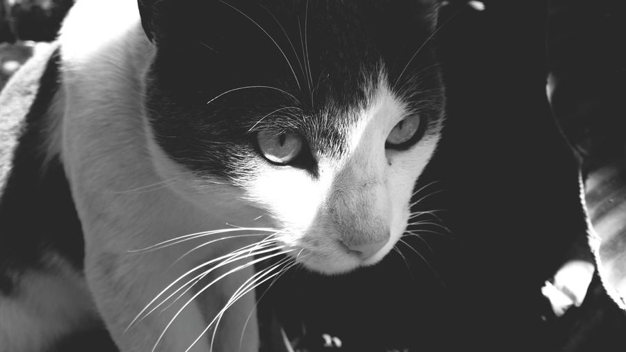 Old Pic  Cat Black And White