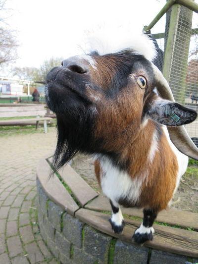 Close-up of goat at botanischer garten grugapark