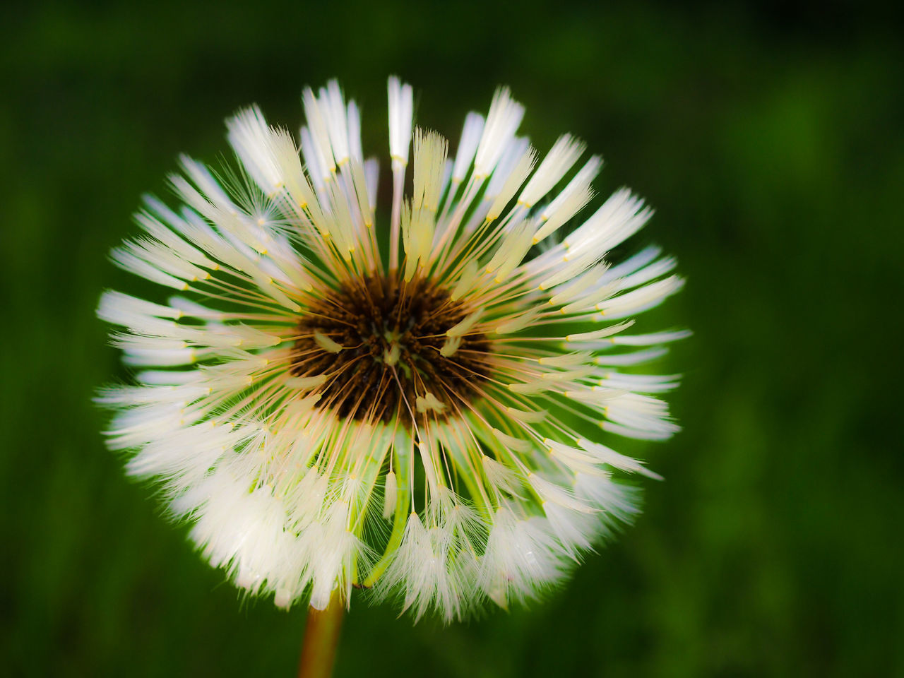 CLOSE-UP OF DANDELION AGAINST WHITE FLOWER