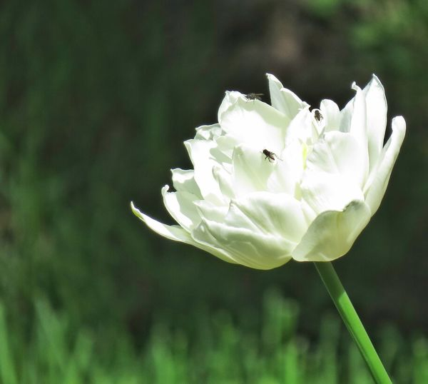 Botany Tulip