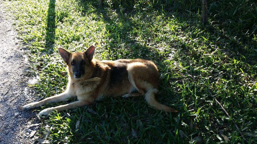 Mylovelydog Resting Time Mydog♡ Beautiful Brave Tired Dog GirlDog Yourname Bullet Mybeautiful Pet Photography  Myhero❤ Mybestfriend