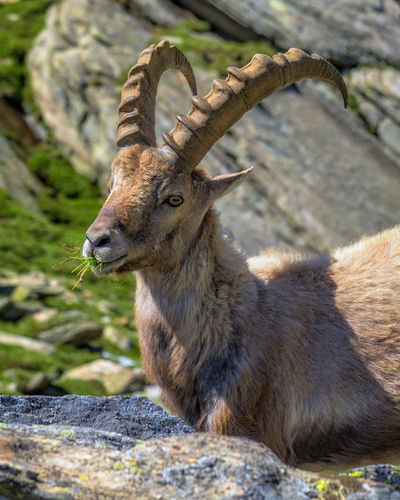Portrait of horned goat eating plant while sitting by rock on land