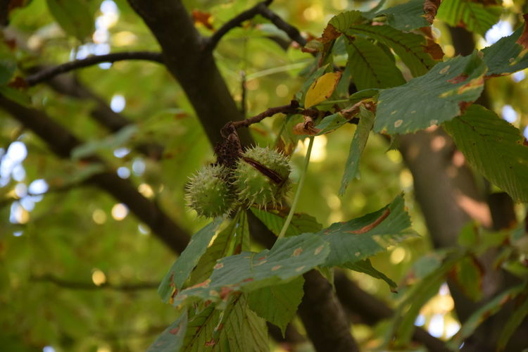 Aesculus Hippocastanum Autumn Conker Conker Tree Conkers Conkertree Fall Horse-chestnut Tree