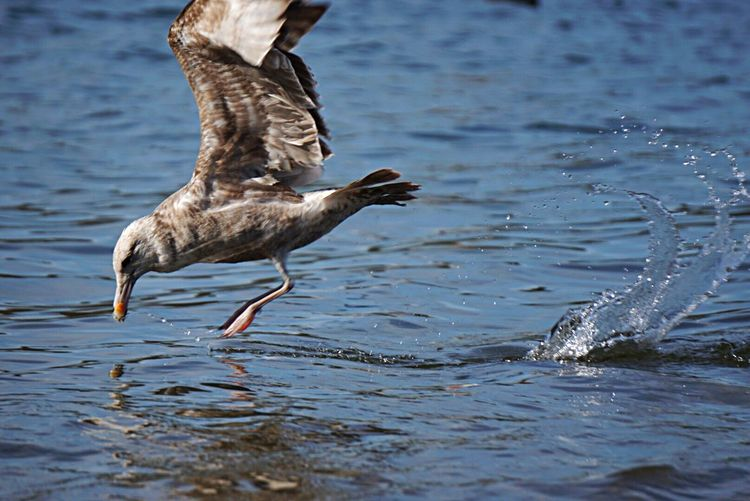 Seagull landing on water in lake