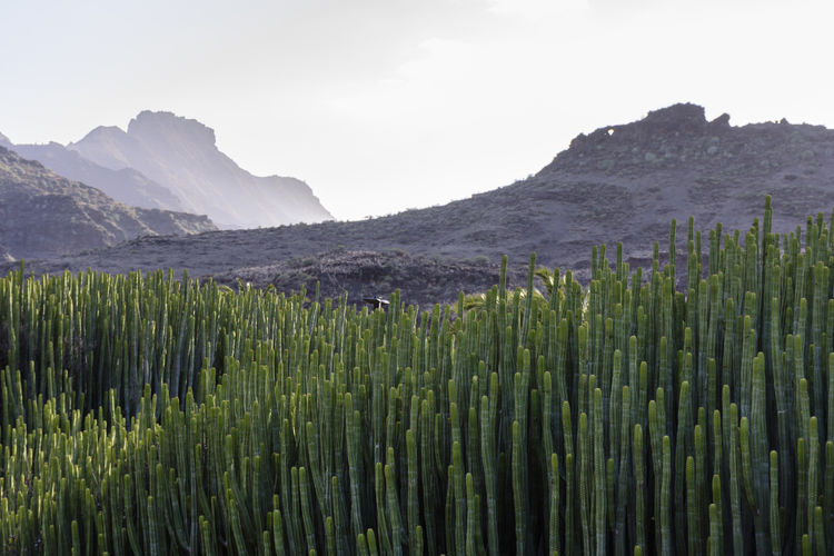 Cardonal Veneguera Gran Canaria Travel Photography Veneguera Beauty In Nature Cardón Day España Green Color Growth Landscape Mountain Nature No People Outdoors Scenics Sky Travel Destinations