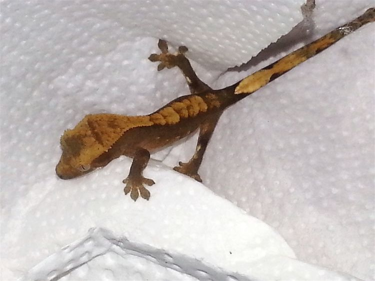 A new morning begins and a new life as well: crested gecko baby, found in parents terra at 7:46 a.m. New Morning New Life New Life.... New Life Begins New Life New Born New Life Is Born New Life Starts Now ♥ Exotic Animals God's Beauty Dino's Photography Jurassic World Of Dino's Baby Photography Born To Be Beautiful Babies Only Babies♥ No People Baby Animals Jurassic Studio Exotic Real Life Jurassic Land Jurassic World Gecko Art Exotic Creatures GECKOzilla