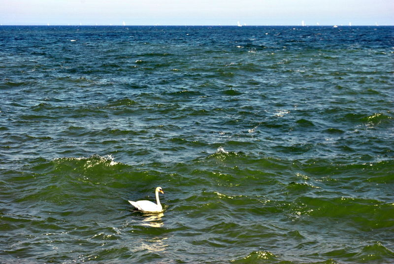 The master of waves Animals In The Wild Bird Animal Themes Animal Wildlife One Animal Sea Water Day Nature No People Perching Outdoors Swimming Sea Life Sky Swan Baltic Sea Germany Lübecker Bucht Lübeck-Travemünde Be Brave