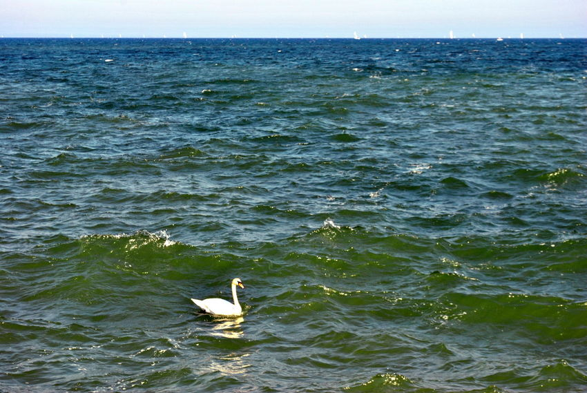 The master of waves Animals In The Wild Bird Animal Themes Animal Wildlife One Animal Sea Water Day Nature No People Perching Outdoors Swimming Sea Life Sky Swan Baltic Sea Germany Lübecker Bucht Lübeck-Travemünde