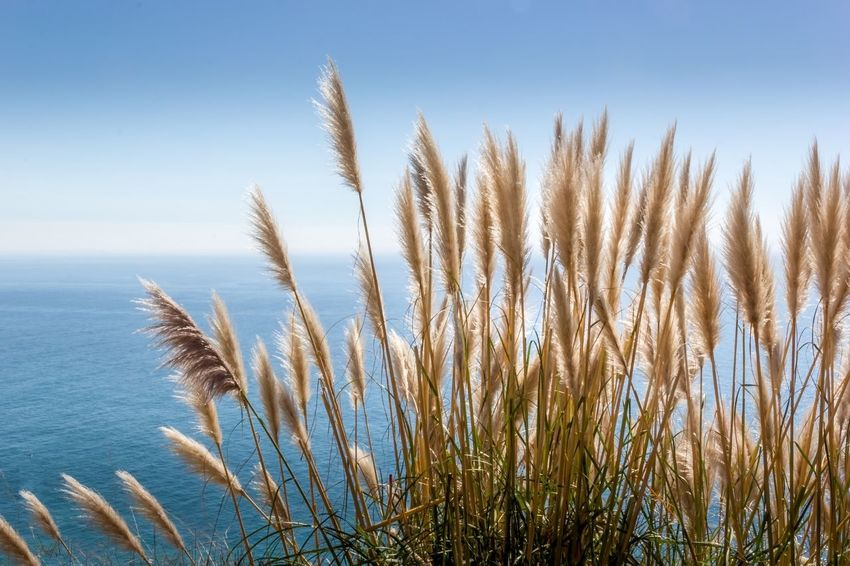 Pampas Grass and the Pacific Ocean California Coast California Highway 1 Pacific Coast Highway Pacific Ocean Pampas Grass Growth Nature Tranquility Tranquil Scene Plant Beauty In Nature Marram Grass Outdoors Scenics Grass Close-up Day No People Sea Water California Dreamin Summer Exploratorium The Great Outdoors - 2018 EyeEm Awards