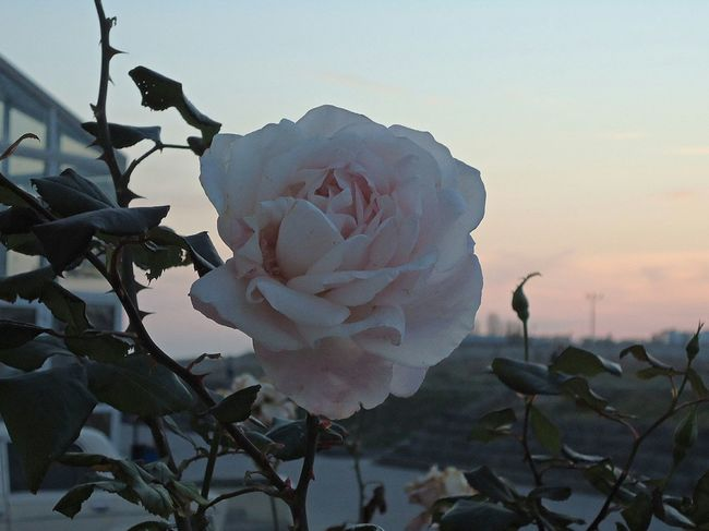 роза в ноябрьском закате. The Rosé in the November sunset. Autumn Automne осень Gentle Pink Rose Pale Pink Pastel