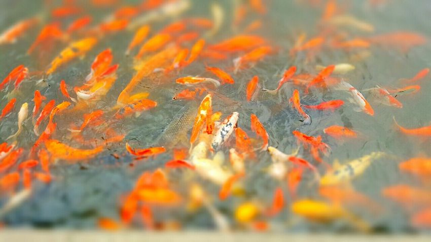Fish Pond Koi Carp School Of Fish Temple Grounds China No People Colorsplash Streetphotography Tiltshift 43 Golden Moments Zhouzhuang Quanfu Temple