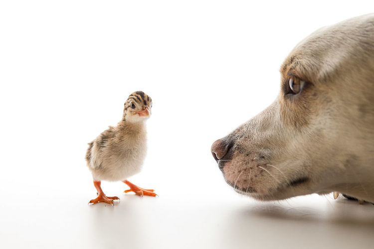 My dog Chico meeting a Guinea Fowl Keet a day after birth. Animal Themes Bird Bird Photography Cute Dogs Domestic Animals Guinea Fowl Nature Pets Special Moment