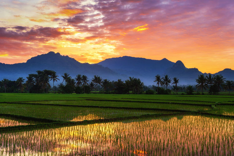 Beautiful golden morning sunrise over paddy rice field. Sunset Beauty In Nature Sky Landscape Tranquility Tranquil Scene Field Environment Agriculture Rural Scene Plant Land Mountain Cloud - Sky Orange Color Farm Nature Crop  No People Mountain Range Outdoors Plantation Jonggol Bogor, Indonesia Paddy Field