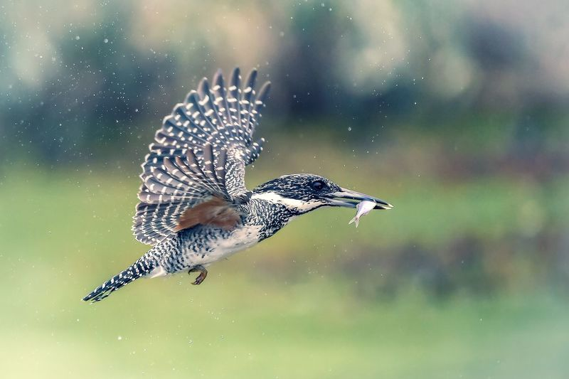 Close-Up Of Bird Carrying Fish In Mouth While Flying Outdoors