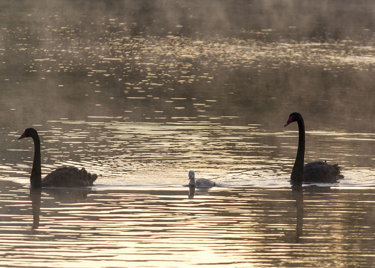 Animal Family Animal Wildlife Animals In The Wild Bird Black Swan Family Foggy Morning Furman Gosling Lake Outdoors Reflection Rippled Sunrise Swan Swan Family Swans Swimming Water Waterfront