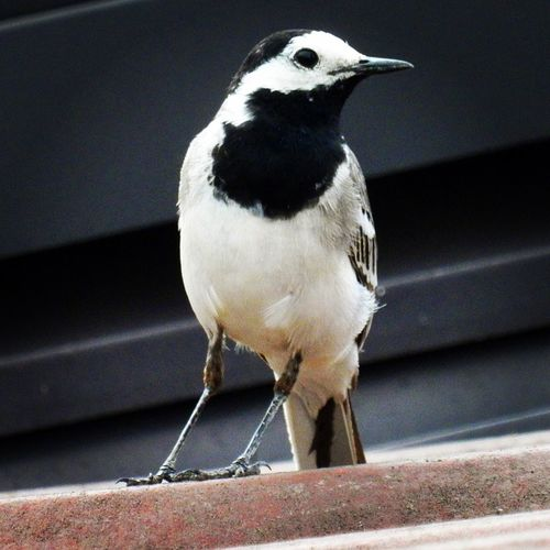 One Animal Bird Animal Themes Animals In The Wild Animal Wildlife Close-up No People Perching Day Outdoors Wagtail