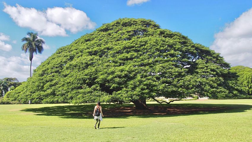Hitachitree This tree is very popular with japanese🌳 Moanalua Gardens Honolulu  Hawaii USA Monkey Pod Albizia Julibrissin Exceptional Photographs Sightseeing Big Tree Tree_collection  Tree And Sky Hawaiian Famous Place Showcase: January EyeEm Best Shots Oahu Aloha Island Not Me この木なんの木 ホノルル オアフ島 ハワイ アメリカ