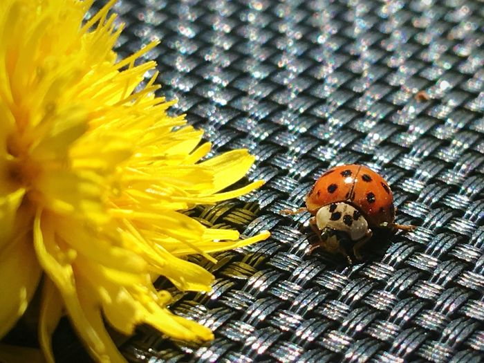 a bug and a flower Dandelion Ladybug Daughtersarethebest Naturelife Nature Flower Yellow Close-up