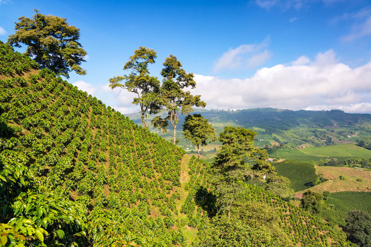 Lush green coffee covered landscape near Manizales, Colombia Agriculture Coffee Colombia Farm Green Hills Latin Manizales Natural Nature Plant Travel Tree Bean Caldas Chinchina Countryside Forest Hill Jungle Mountain Outdoor Rainforest South America Valley