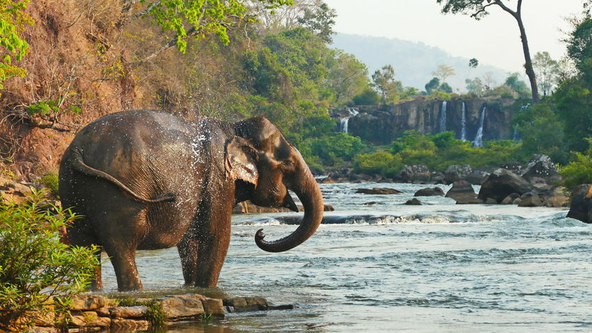 Elefanten in Laos Bolavenplateau Proboscis Rock Tad Lo Waterfall Animal Wildlife Animals In The Wild Day Elefant Elefant Swim Elefanteye Laos Mammal Nature Outdoors River Tree In The Water Vertebrate Water Waterfall Wildlife