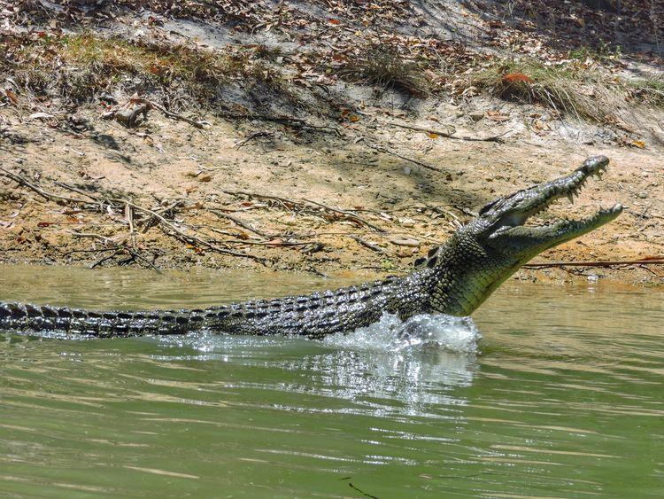 Croc Attack Salt Water Crocodile Australia Animals In The Wild Nature Animal Wildlife Water No Swimming Reptile Crocodile Swimming Cairns Beauty In Nature Dangerous Animals Dangerous Attack Croc Wildlife Wild Wildlife Photography Wildlife & Nature Nature River Riverside Green Color Tropics