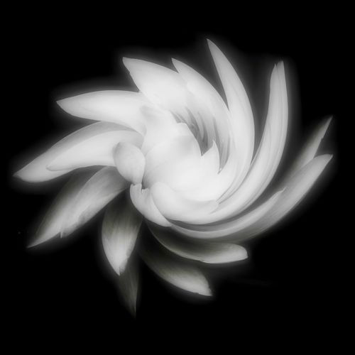 Water Lily Spiral Beauty In Nature Black & White Photography Black Background Close-up Creative Art Flower Flower Head Fragility Freshness Nature Night No People Petal Studio Shot Water Lily White Color White Water Lily