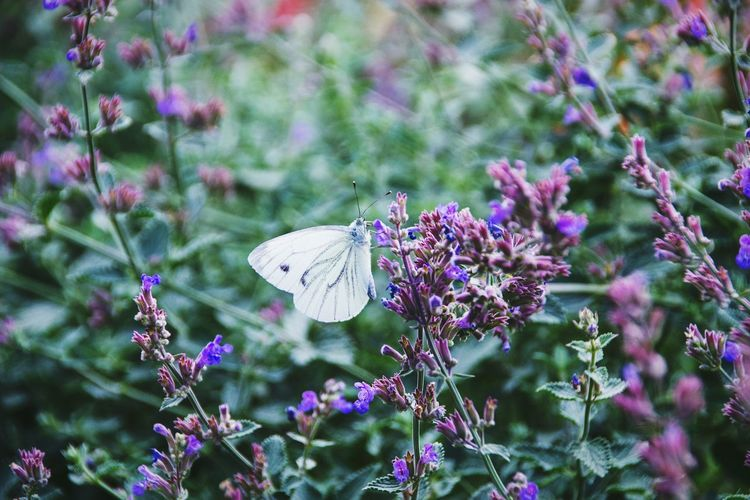 Insect Flower One Animal Animal Themes Fragility Animals In The Wild Freshness Wildlife Butterfly Growth Flowers Lavander Flowers Lavanda Beauty In Nature Purple Springtime Butterfly - Insect Pollination Nature Focus On Foreground Plant Close-up Stem Garden EyeEm Nature Lover