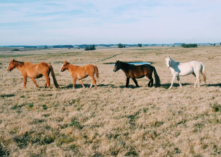 The Great Outdoors - 2017 EyeEm Awards Horse Mammal Animal Themes Livestock Domestic Animals Nature Sky Day Field Young Animal Grazing Outdoors No People Standing Full Length Grass Agriculture