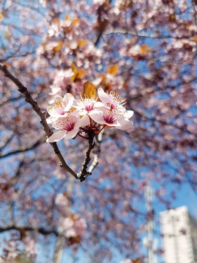 Low angle view of apple blossoms in spring