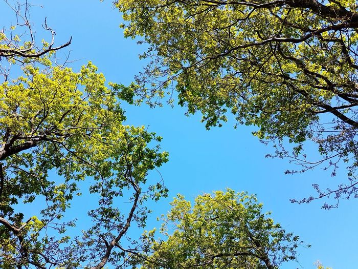 Tree Blue Nature Leaves And Sky Low Angle View Branch Outdoors Day Beauty In Nature No People Clear Sky Growth Leaf Forest Freshness Nature Beauty In Nature Summer Nature_collection Nature Photography Sky And Trees Blue Sky Leaves🌿 Leaves_collection Leaves 🍁