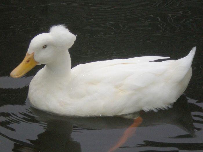 """""""blonde"""" Duck."""