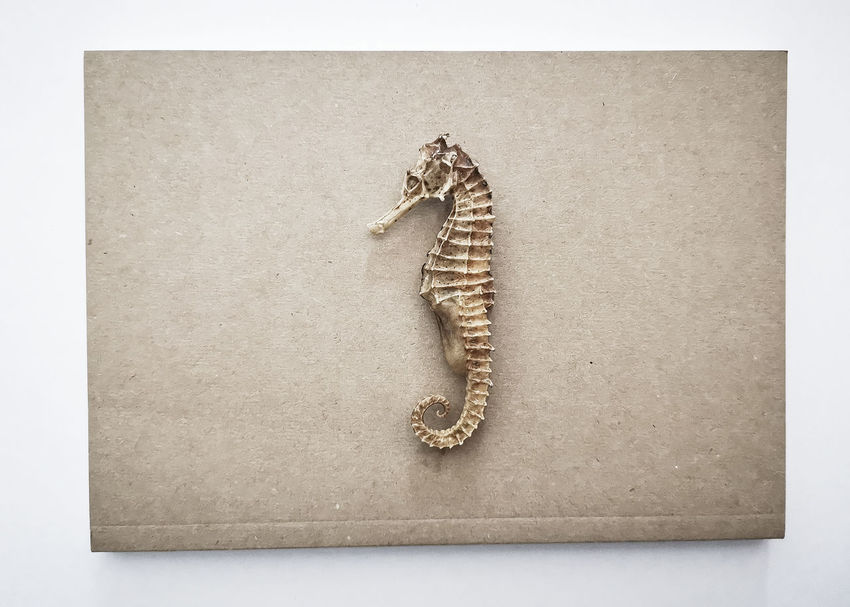 Dry skeleton Seahorse Studio Shot Indoors  Animal Animal Themes No People Publication Book Close-up Paper Animal Wildlife One Animal High Angle View Vertebrate Full Length White Background Cut Out Directly Above Communication Animal Body Part