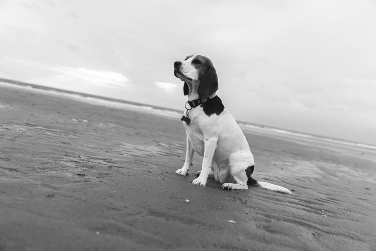 Close-up of beagle sitting on wet shore against sky
