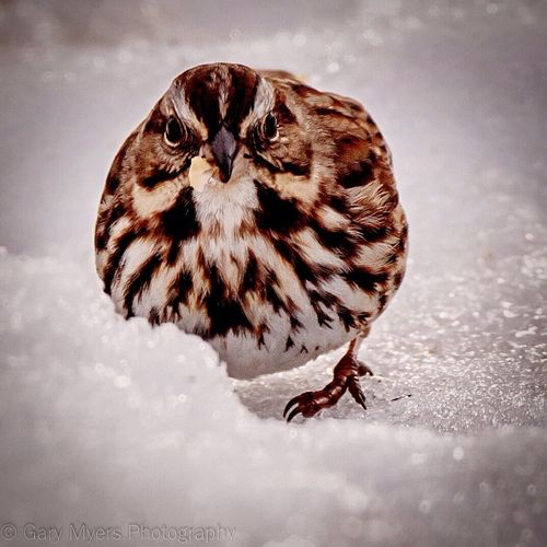 Bird Winter Animal Themes Snow Animals In The Wild One Animal Nature Cold Temperature Animal Wildlife Outdoors No People Close-up Beauty In Nature Nature Reed Bunting