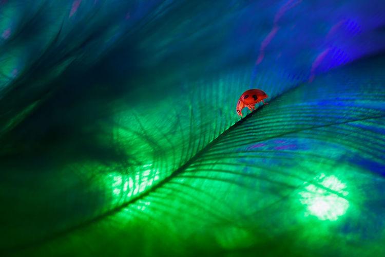 Ladybug on feather