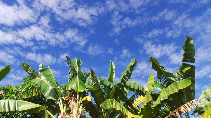 Low angle view of banana tree against cloudy blue sky