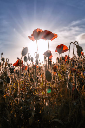 Poppies into the light at entire head between holywell bay and newquay in Cornwall UK Beauty In Nature Birs Cornwall Crantock Day Field Flower Flower Head Flowers Fragility Freshness Growth Nature No People Outdoors Pentire Plant Poppies  Poppy Poppy Flowers S Sky Sunbeam Sunlight Sunset