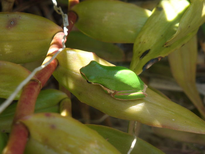 Amphibians Animal Themes Animal Wildlife Animals In The Wild Beauty In Nature Close-up Day Freshness Garden Green Color Growth Leaf Leaves Nature No People One Animal Outdoors Tree Frog