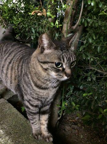 野良猫 Stray Cat Cat 夜ねこ キジトラ