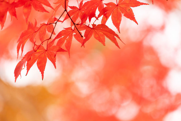 Plant Part Leaf Autumn Red Branch Change Beauty In Nature Tree Maple Leaf Orange Color Maple Tree Plant Nature Close-up No People Selective Focus Backgrounds Focus On Foreground Outdoors Day Leaves Autumn Collection Natural Condition