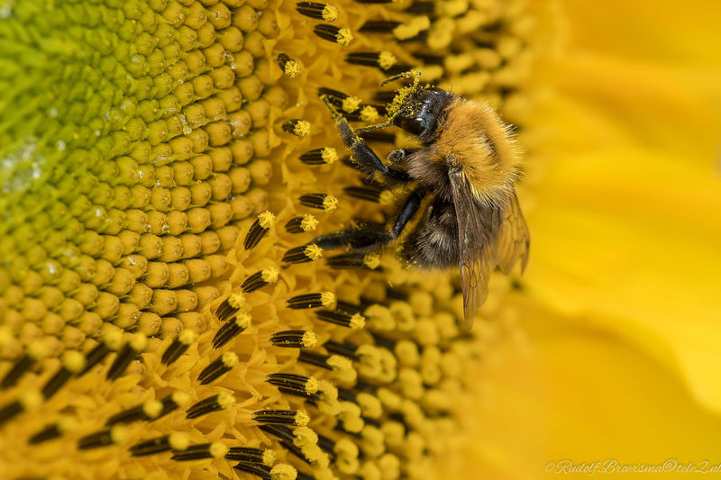 As the Bee`s