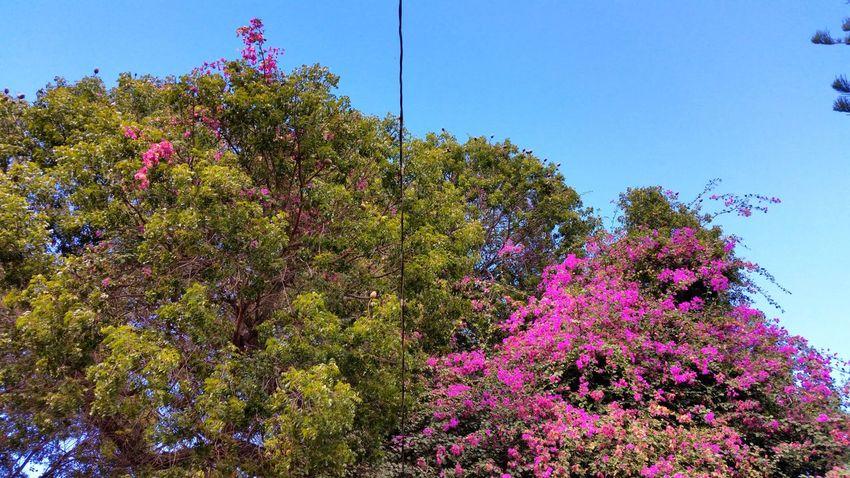 Growth Tree Sky Bougainvillea St.Croix, US Virgin Islands