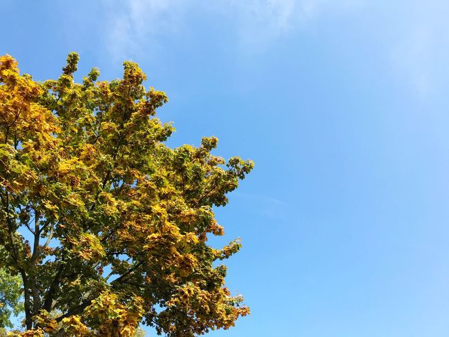 Autumn colors Autumn Plant Low Angle View Growth Tree Sky Beauty In Nature No People Nature Day Blue Outdoors Copy Space Clear Sky Treetop