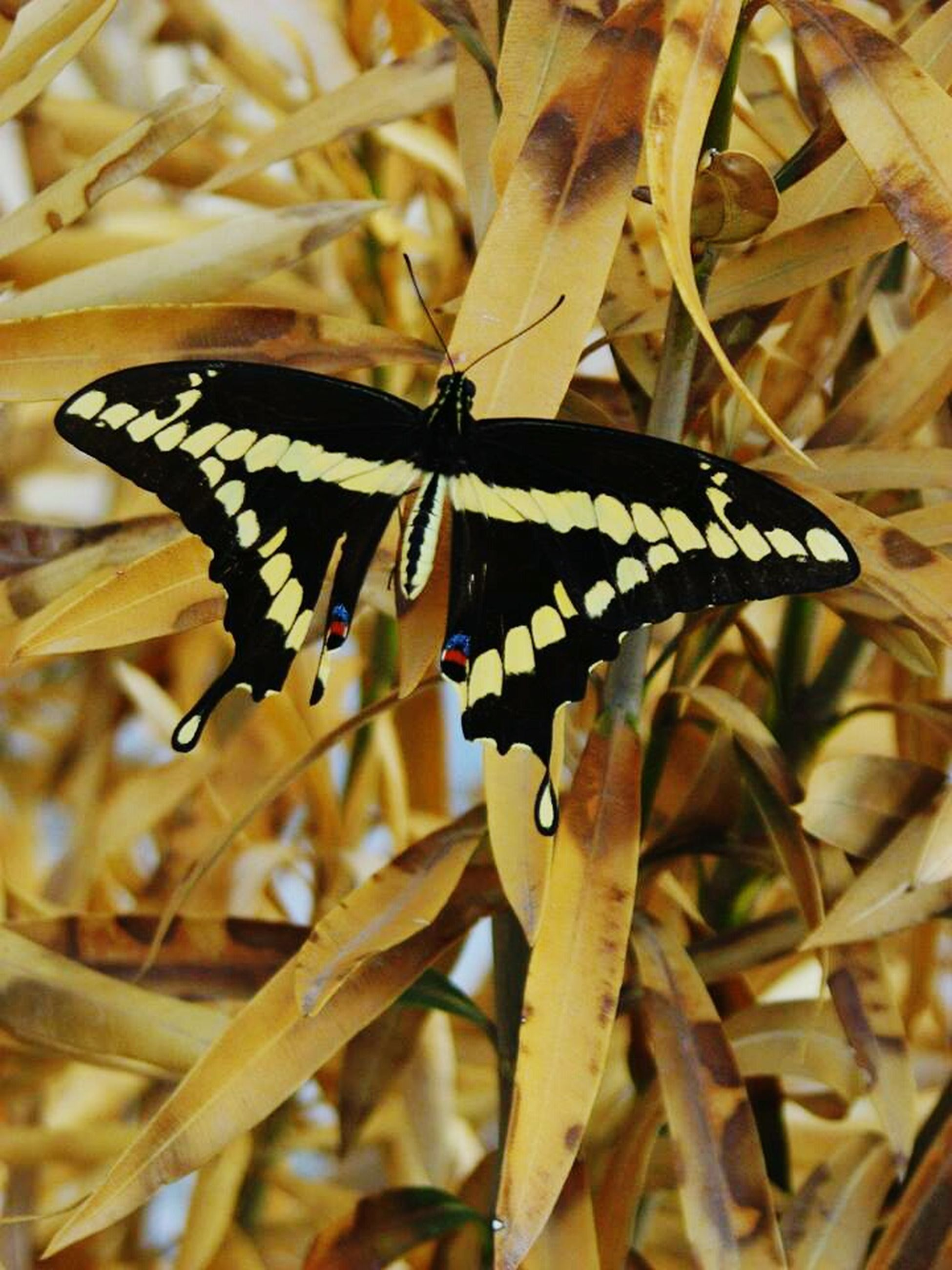 animals in the wild, insect, one animal, animal themes, wildlife, butterfly - insect, close-up, focus on foreground, butterfly, plant, animal markings, leaf, nature, animal wing, beauty in nature, selective focus, growth, day, outdoors, fragility