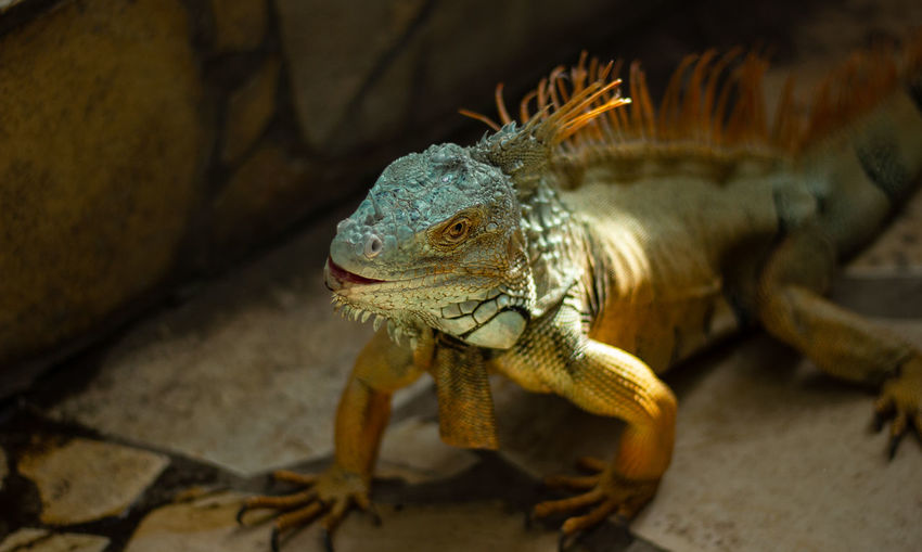 Camera - Canon 550D -Lens - 50 mm f/1.8 Blog : https://www.instagram.com/david_sarkisov_photography/ Animal Themes One Animal Animal Reptile Lizard Animal Wildlife Animals In The Wild Vertebrate No People Iguana Close-up Nature Rock Solid Focus On Foreground Rock - Object Outdoors Day Looking Sunlight Animal Scale Animal Eye