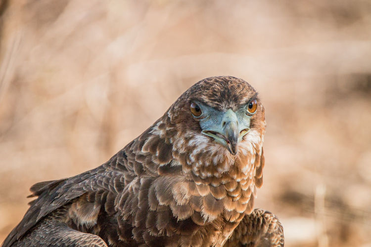 Close-up portrait of eagle perching outdoors